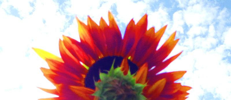 Sunflower Eclipse by ObscureStar