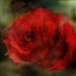 rose by castitas