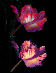 Tulip Trip by somasal