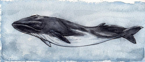 Fin Whale by angelac