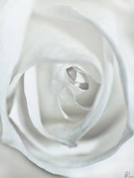 White Rose by Denis90