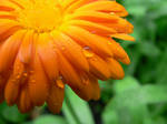 orange flower by universe