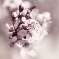 Cherrybloom by planetshu