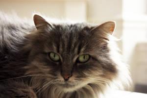 My cat : Mina by stntoulouse
