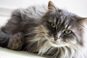 My cat : Mina - 2 by stntoulouse