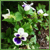 Heartsease by AnnaZLove