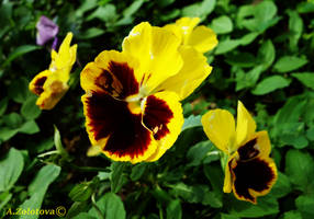 The Yellow Pansy by AnnaZLove