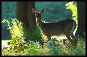 Deer 2 by Ptimac
