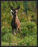 Deer 3 by Ptimac