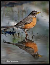 Robin 6 by Ptimac