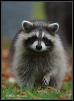 Raccoon 2 by Ptimac