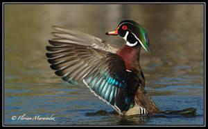 Wood Duck 9 by Ptimac