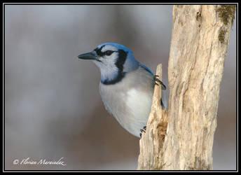 Blue Jay 7 by Ptimac