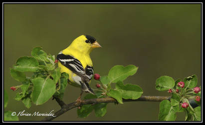 Goldfinch 10 by Ptimac