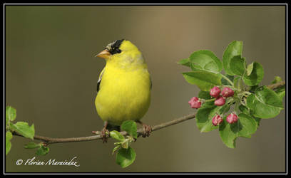 Goldfinch 12 by Ptimac