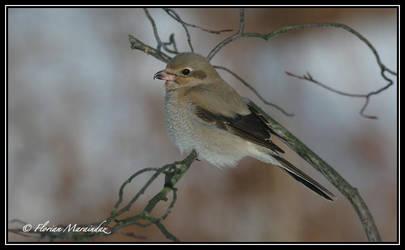 Pie grieche grise 3 by Ptimac