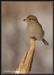 Pie grieche grise 4 by Ptimac