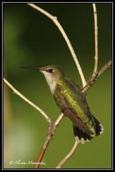 Colibri 3 by Ptimac
