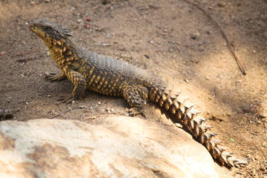 Giant Girdled Lizard by Ammut88