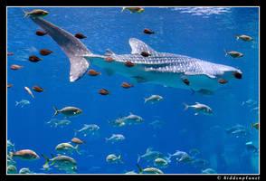 Whale shark by Hiddenplanet
