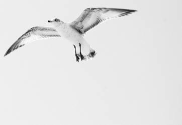 Gull by AwkwardScience