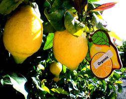 Lemon Fresh Scent by artsysav