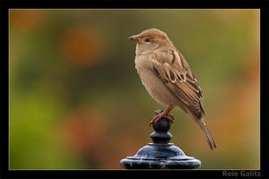 The Lonely Sparrow by RoieG