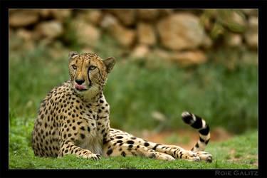 Resting Cheeta by RoieG