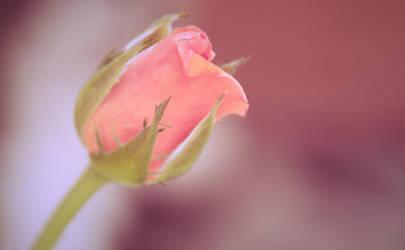 Rosa Romantica by Dimatges