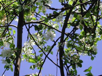 Apple blossom sky by zironjones