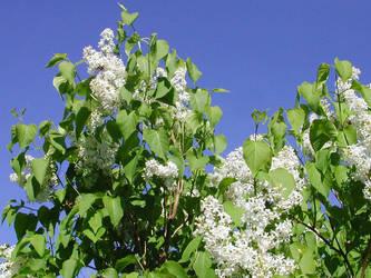 White lilacs by zironjones