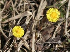 Spring: colsfoot by zironjones