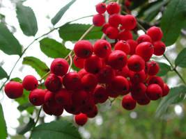 Rowamberries by zironjones
