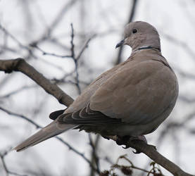 Collared Dove FI 01 by Zoundz