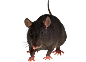 Png Rat by Moonglowlilly
