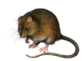 Png Rat 3 by Moonglowlilly