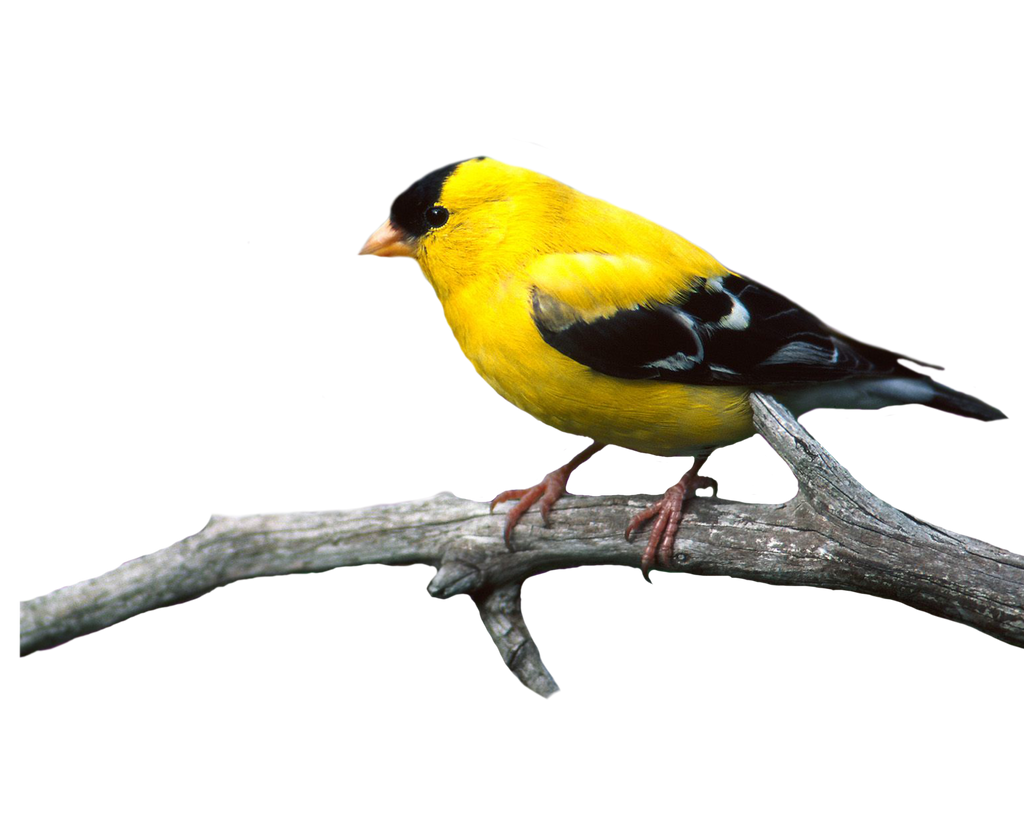 Bird Png 22 by Moonglowlilly