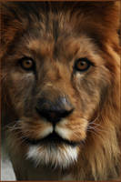 Lion Painting by chamirra