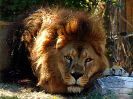 Lion by Jaavii