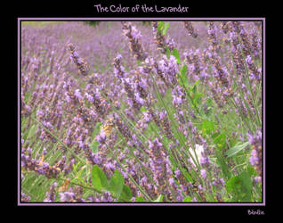 The color of the Lavander by benelie