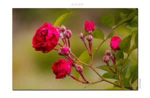 Rose by siscanin