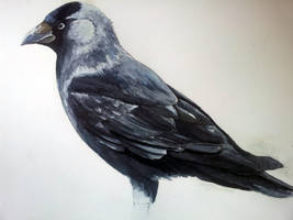 Jackdaw - Watercolor by Dracarian
