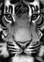 Tiger in detail by Vitadog