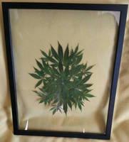 Botanical Cannabis Mandala Large Series 1 by calvincanibus