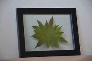 Botanical Cannabis Mandala Small by calvincanibus
