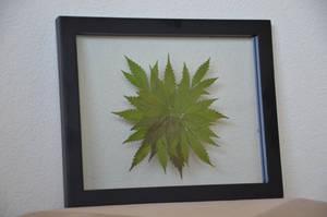 Botanical Cannabis Mandala Medium/Small by calvincanibus