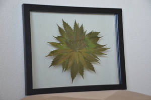 Botanical Cannabis Mandala Large by calvincanibus
