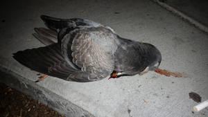 pigeon 1 by calvincanibus