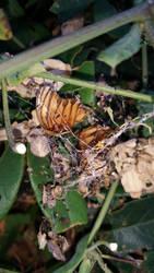 butterfly cobweb by calvincanibus