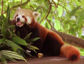 Red Panda by Pygar